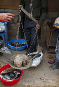 weighing scales and fish